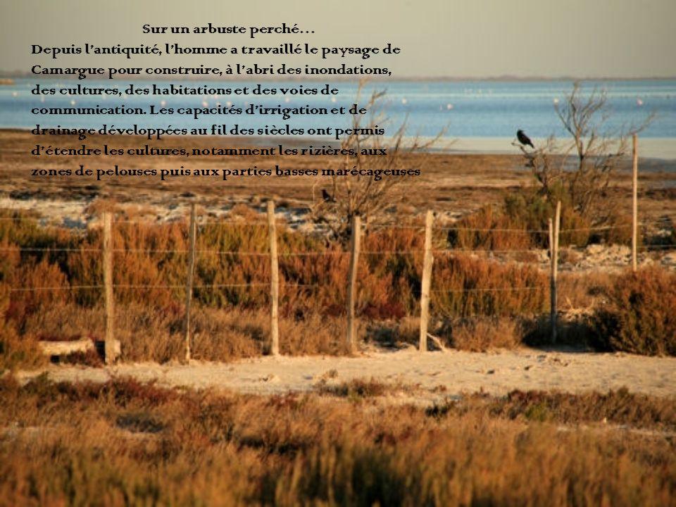 Sur un arbuste perché… Depuis l'antiquité, l'homme a travaillé le paysage de. Camargue pour construire, à l'abri des inondations,