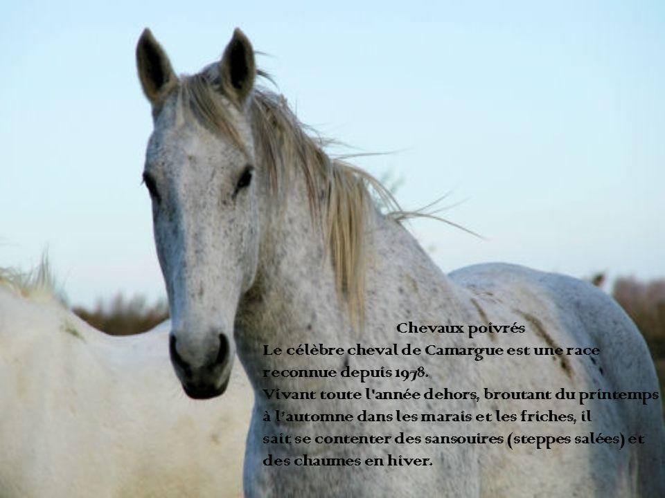 Chevaux poivrés Le célèbre cheval de Camargue est une race. reconnue depuis 1978. Vivant toute l année dehors, broutant du printemps.
