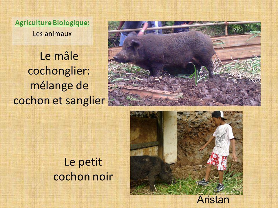 Le mâle cochonglier: mélange de cochon et sanglier