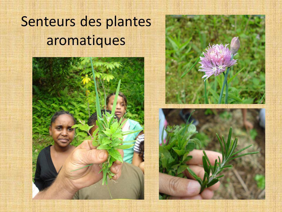 Senteurs des plantes aromatiques