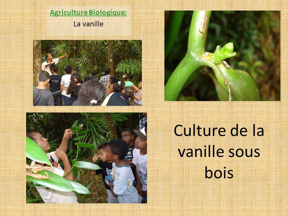 Culture de la vanille sous bois