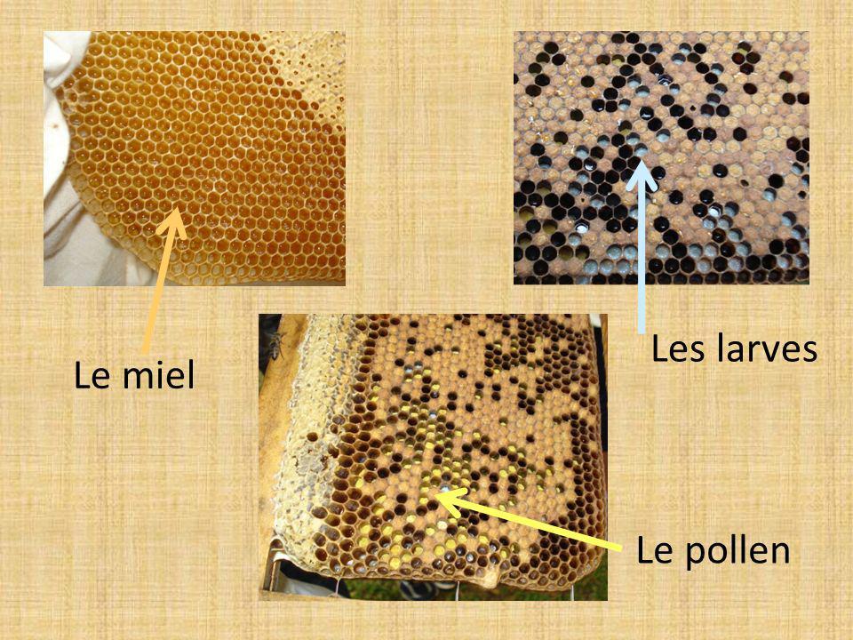 Les larves Le miel Le pollen