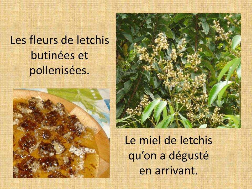 Les fleurs de letchis butinées et pollenisées.