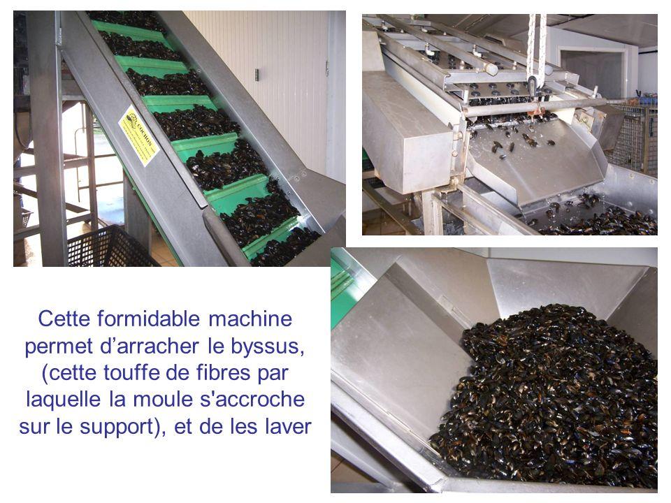 Cette formidable machine permet d'arracher le byssus, (cette touffe de fibres par laquelle la moule s accroche sur le support), et de les laver