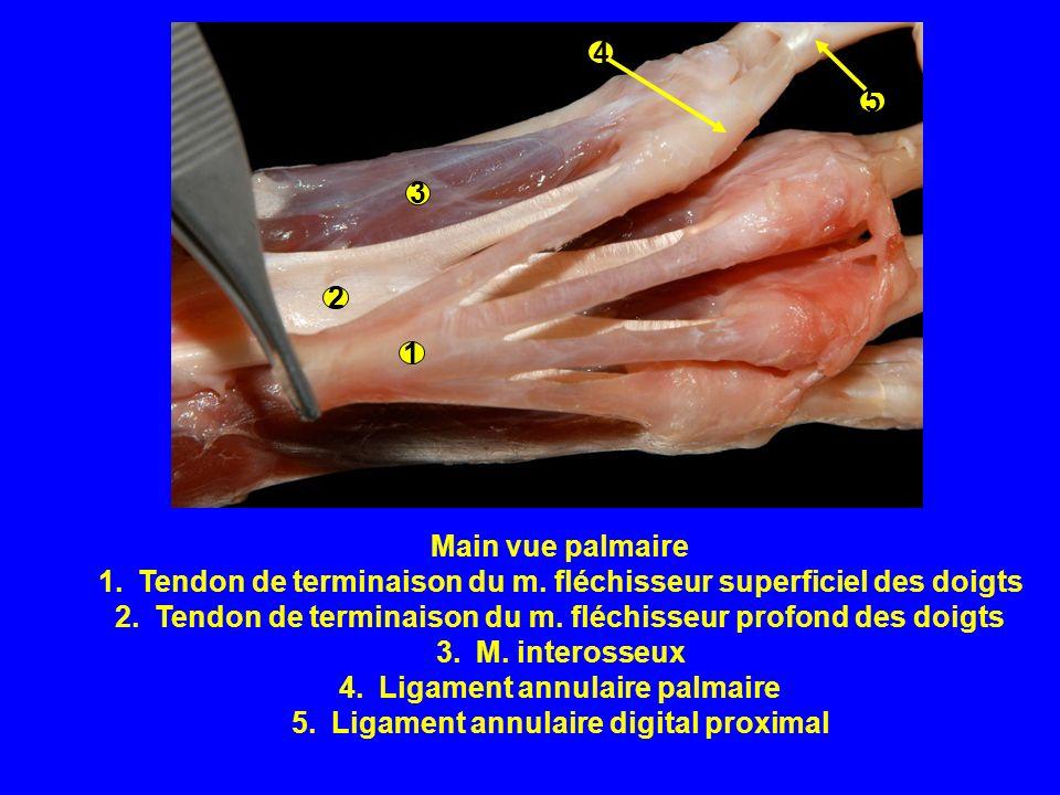 Tendon de terminaison du m. fléchisseur superficiel des doigts