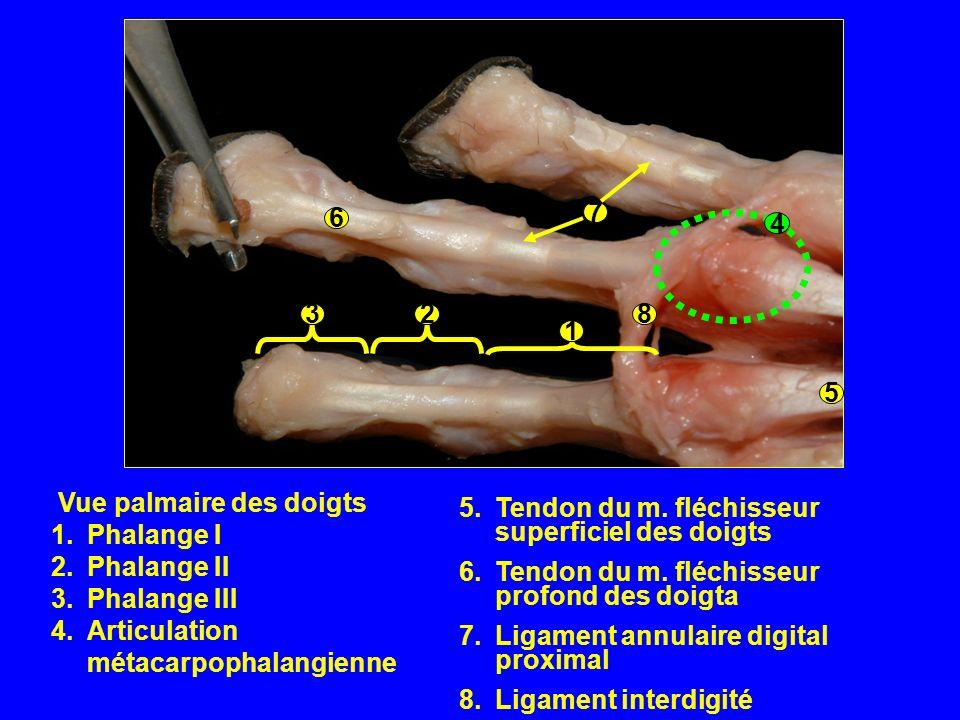 8 6. 7. 5. 4. 1. 2. 3. Vue palmaire des doigts. Phalange I. Phalange II. Phalange III. Articulation métacarpophalangienne.