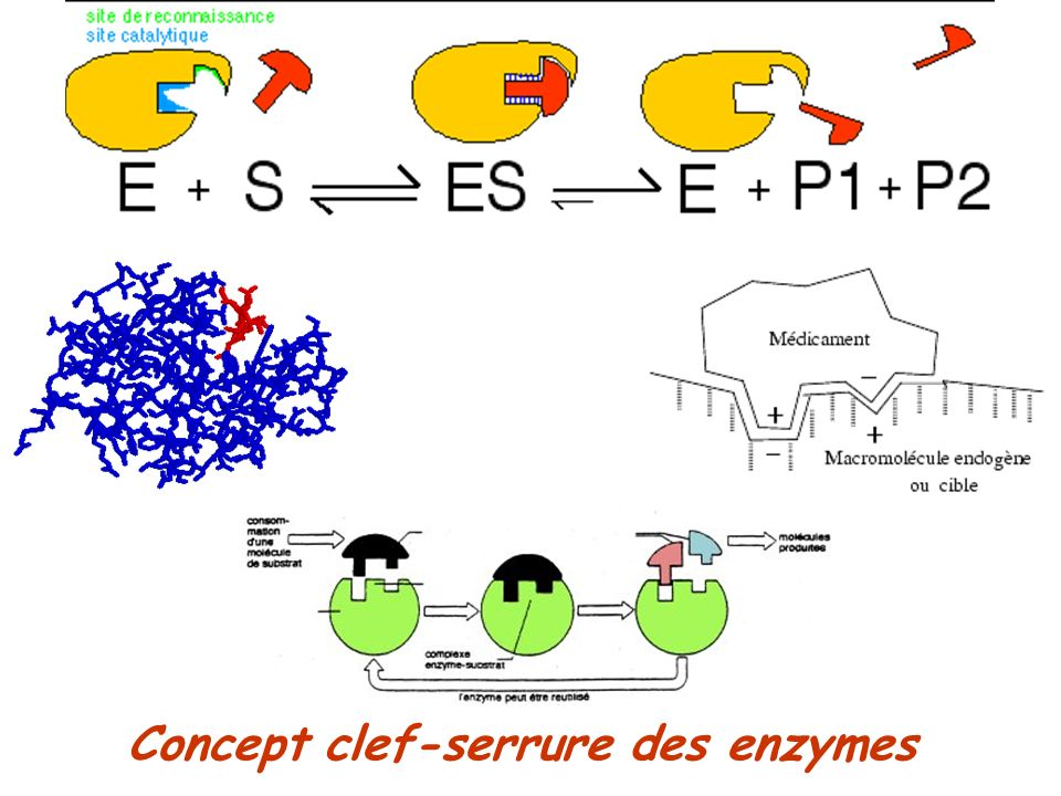 Concept clef-serrure des enzymes