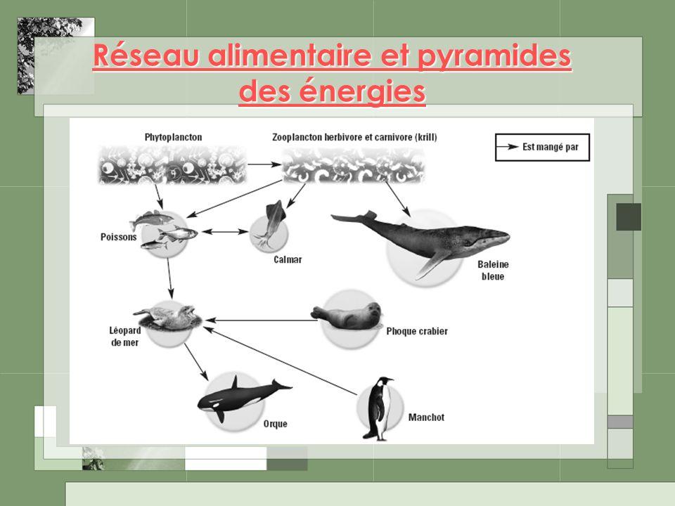 Réseau alimentaire et pyramides des énergies