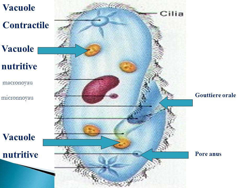Vacuole Contractile Vacuole nutritive Vacuole nutritive macronoyau