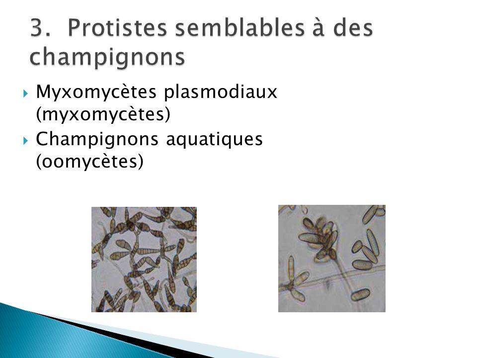 3. Protistes semblables à des champignons