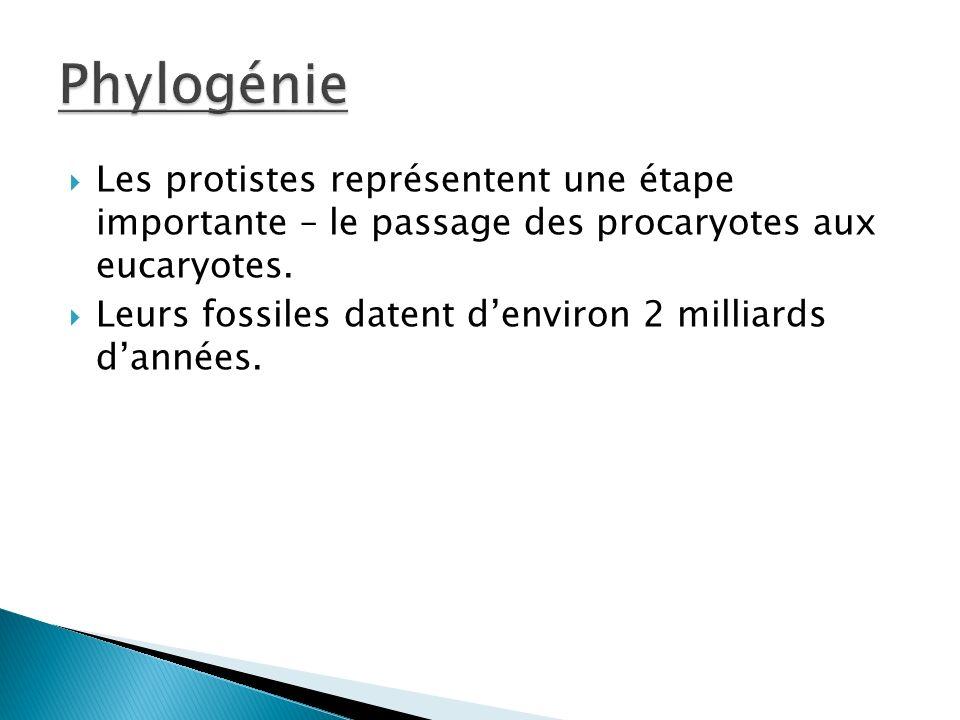 Phylogénie Les protistes représentent une étape importante – le passage des procaryotes aux eucaryotes.