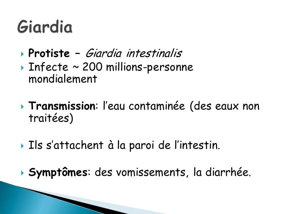 Giardia Protiste – Giardia intestinalis