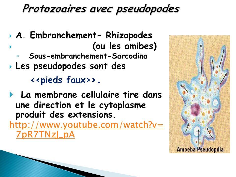 Protozoaires avec pseudopodes