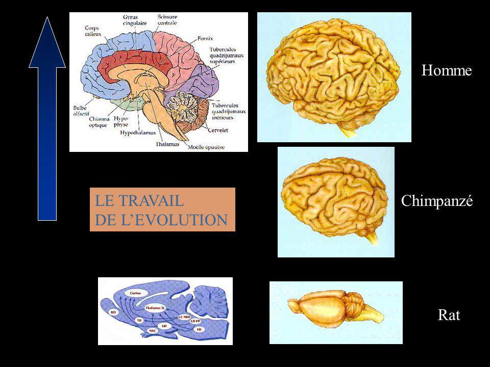Homme LE TRAVAIL DE L'EVOLUTION Chimpanzé Rat