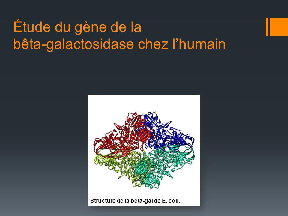 Étude du gène de la bêta-galactosidase chez l'humain