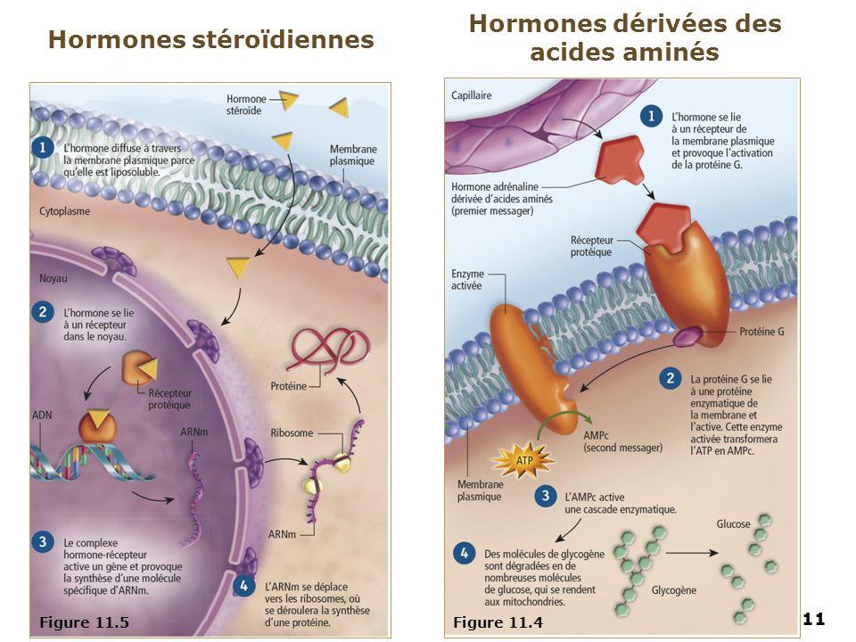 Hormones dérivées des acides aminés Hormones stéroïdiennes