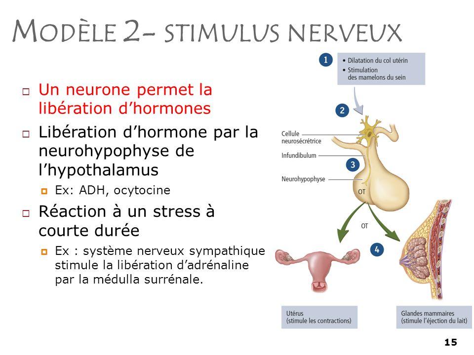 Modèle 2- stimulus nerveux