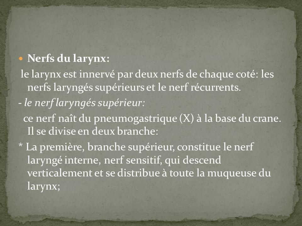 Nerfs du larynx: le larynx est innervé par deux nerfs de chaque coté: les nerfs laryngés supérieurs et le nerf récurrents.