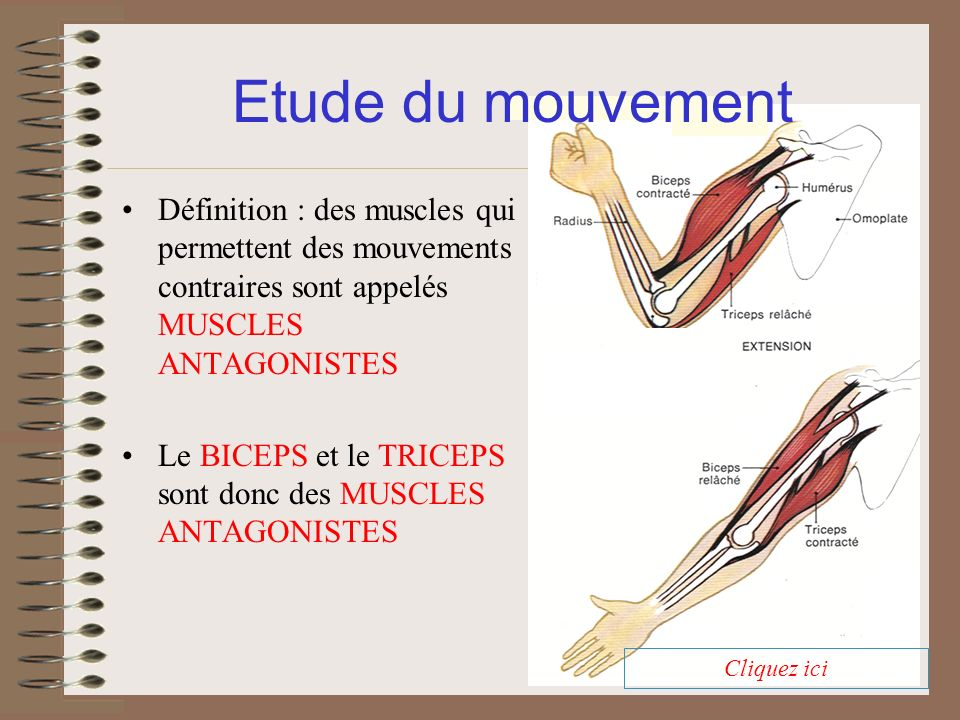 Etude du mouvement Définition : des muscles qui permettent des mouvements contraires sont appelés MUSCLES ANTAGONISTES.