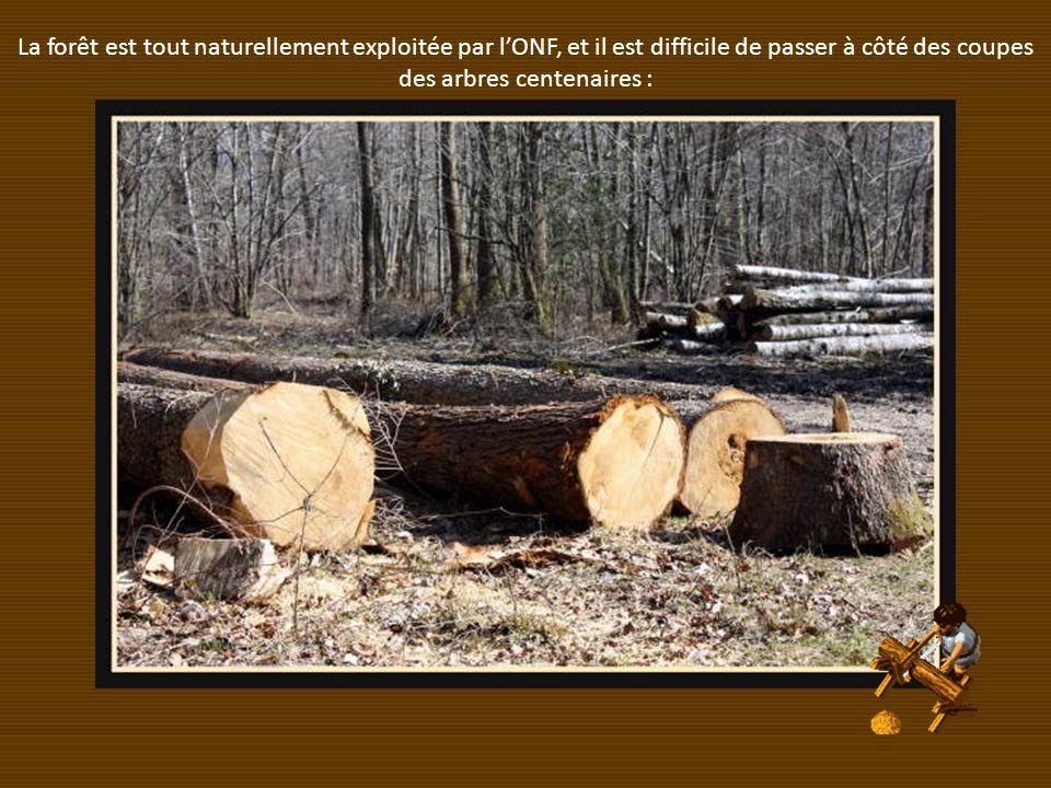La forêt est tout naturellement exploitée par l'ONF, et il est difficile de passer à côté des coupes des arbres centenaires :
