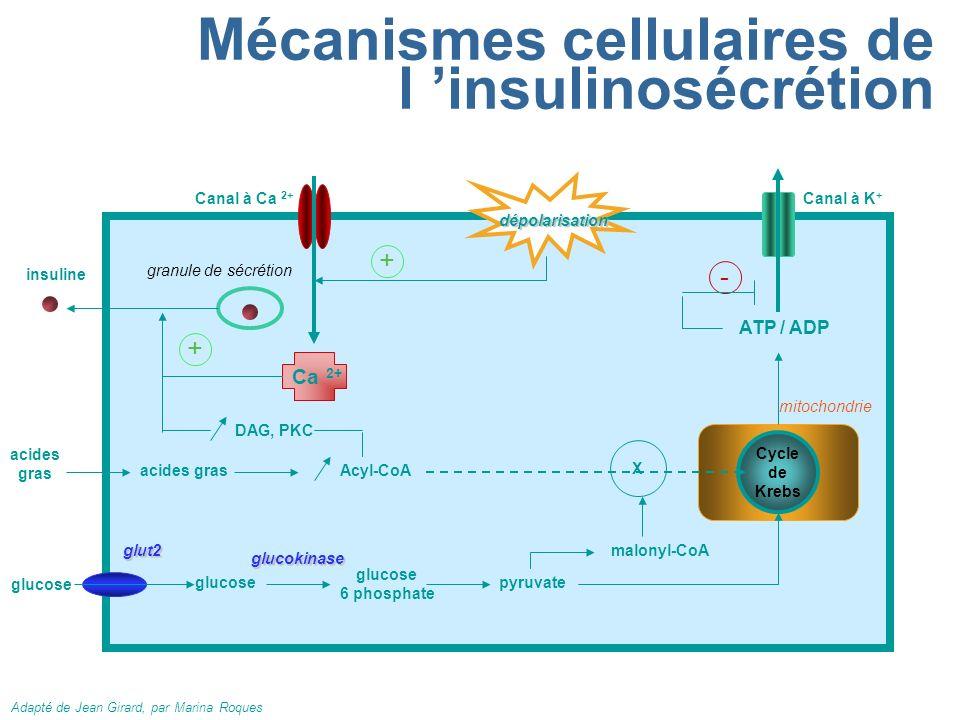 Mécanismes cellulaires de l 'insulinosécrétion