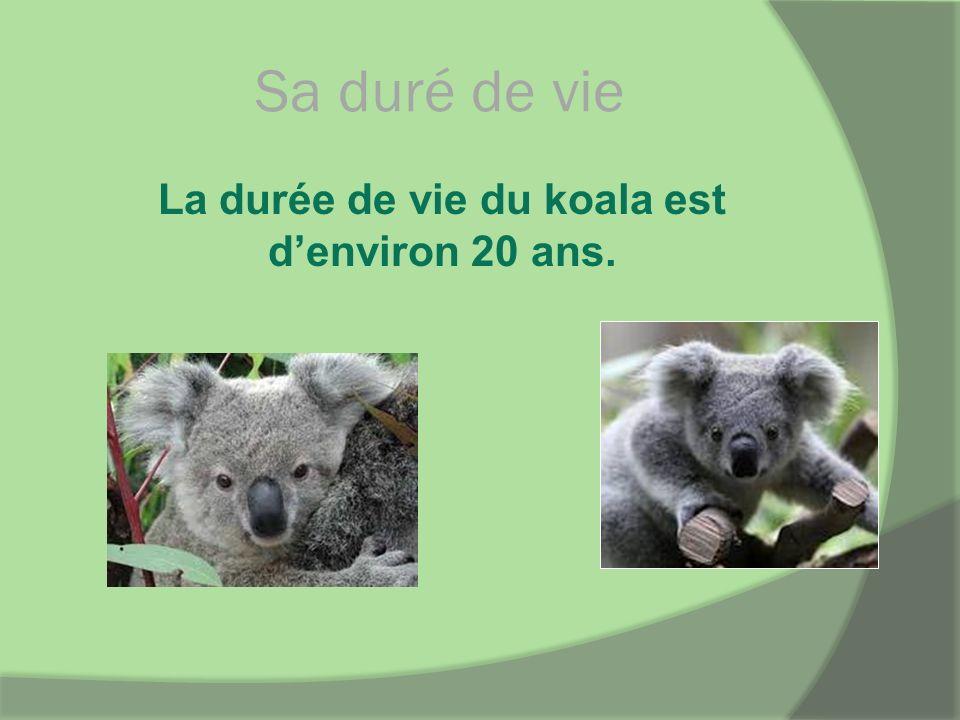 La durée de vie du koala est d'environ 20 ans.