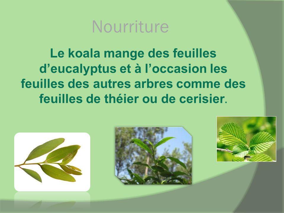 Nourriture Le koala mange des feuilles d'eucalyptus et à l'occasion les feuilles des autres arbres comme des feuilles de théier ou de cerisier.