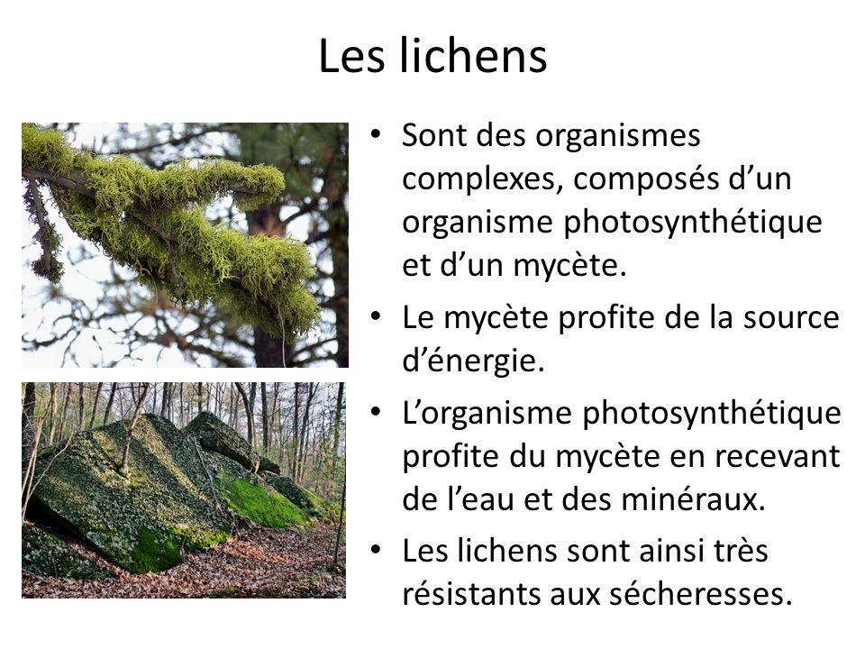 Les lichens Sont des organismes complexes, composés d'un organisme photosynthétique et d'un mycète.