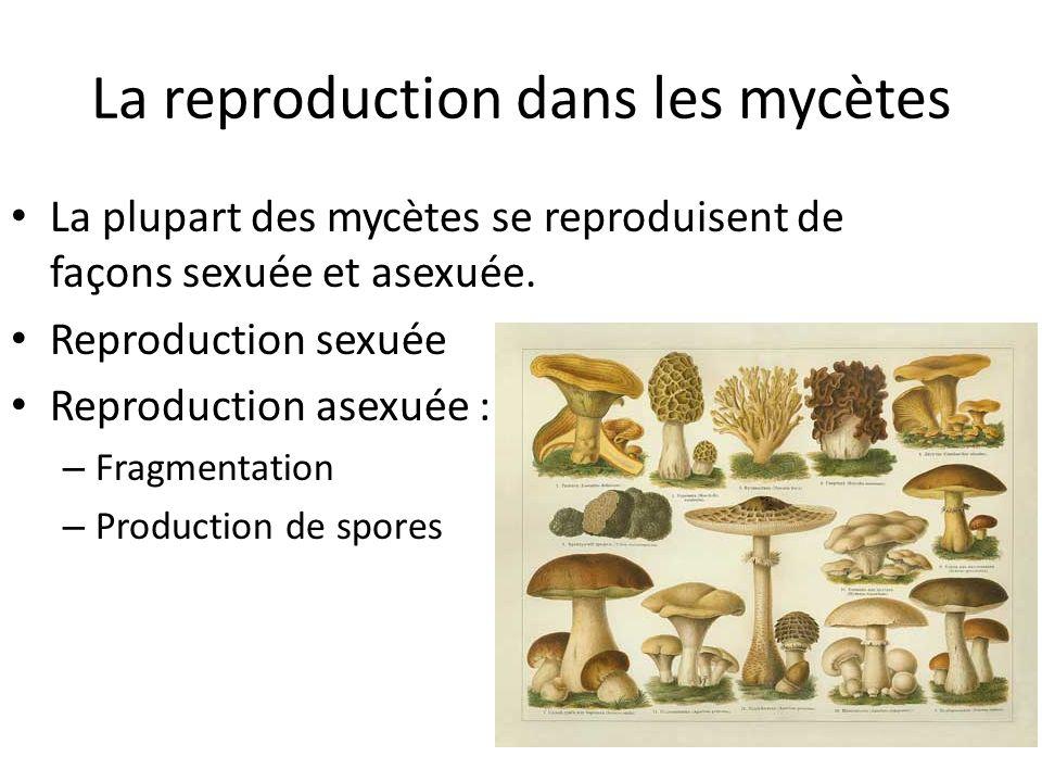 La reproduction dans les mycètes