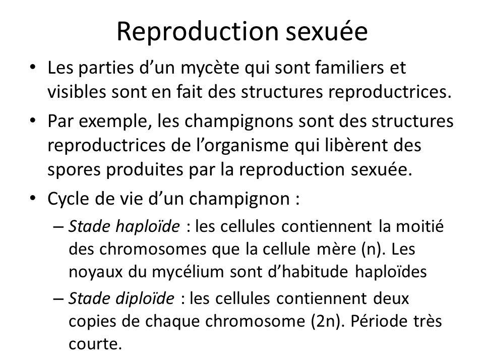 Reproduction sexuée Les parties d'un mycète qui sont familiers et visibles sont en fait des structures reproductrices.