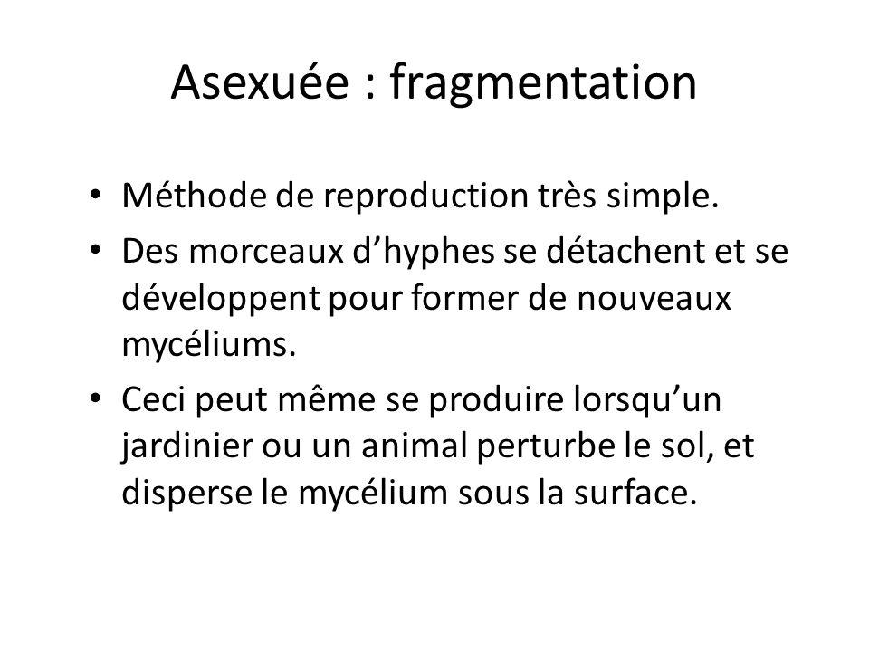 Asexuée : fragmentation