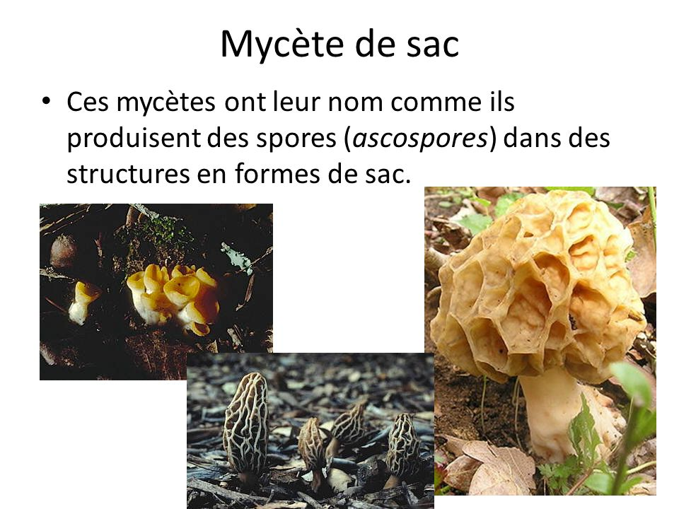 Mycète de sac Ces mycètes ont leur nom comme ils produisent des spores (ascospores) dans des structures en formes de sac.