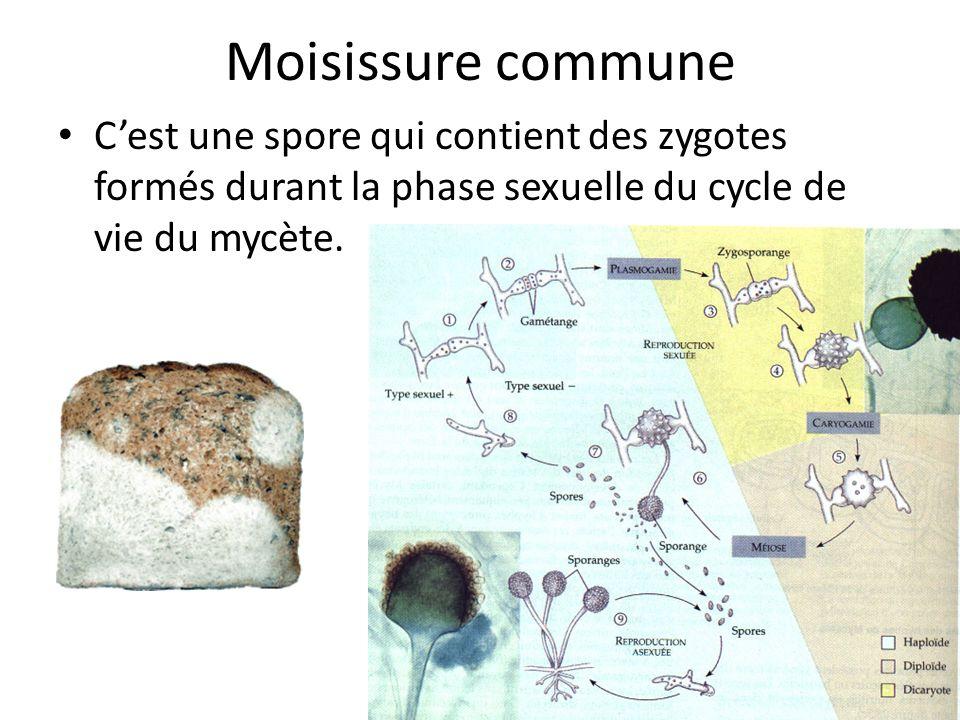 Moisissure commune C'est une spore qui contient des zygotes formés durant la phase sexuelle du cycle de vie du mycète.