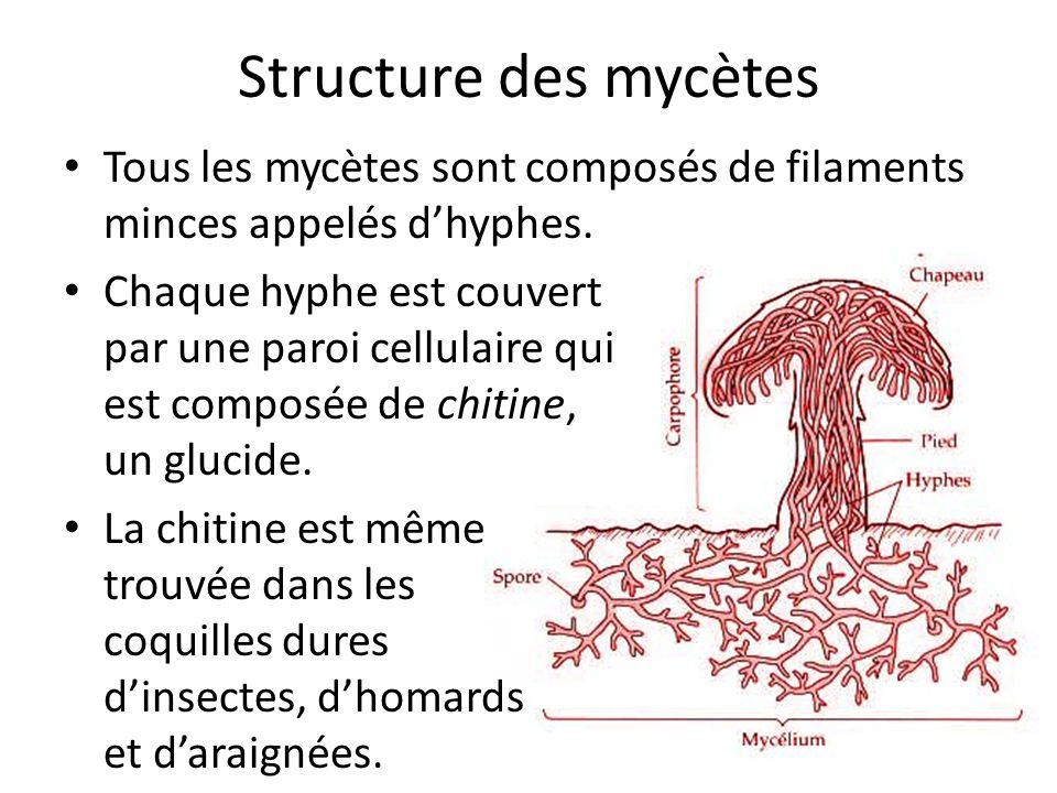 Structure des mycètes Tous les mycètes sont composés de filaments minces appelés d'hyphes.