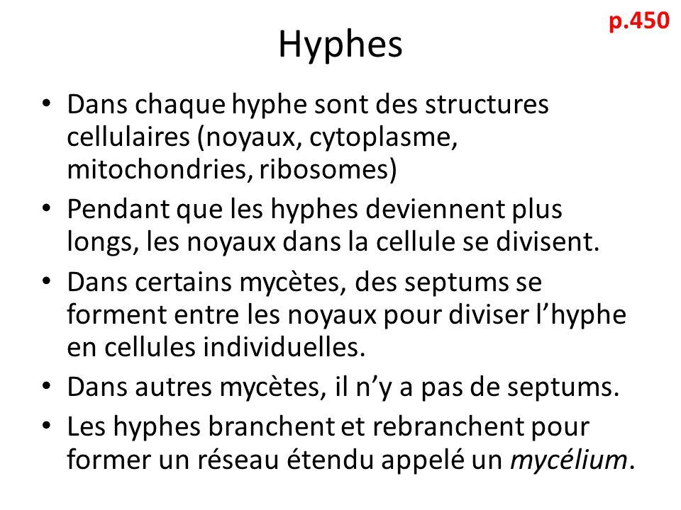 Hyphes p.450. Dans chaque hyphe sont des structures cellulaires (noyaux, cytoplasme, mitochondries, ribosomes)