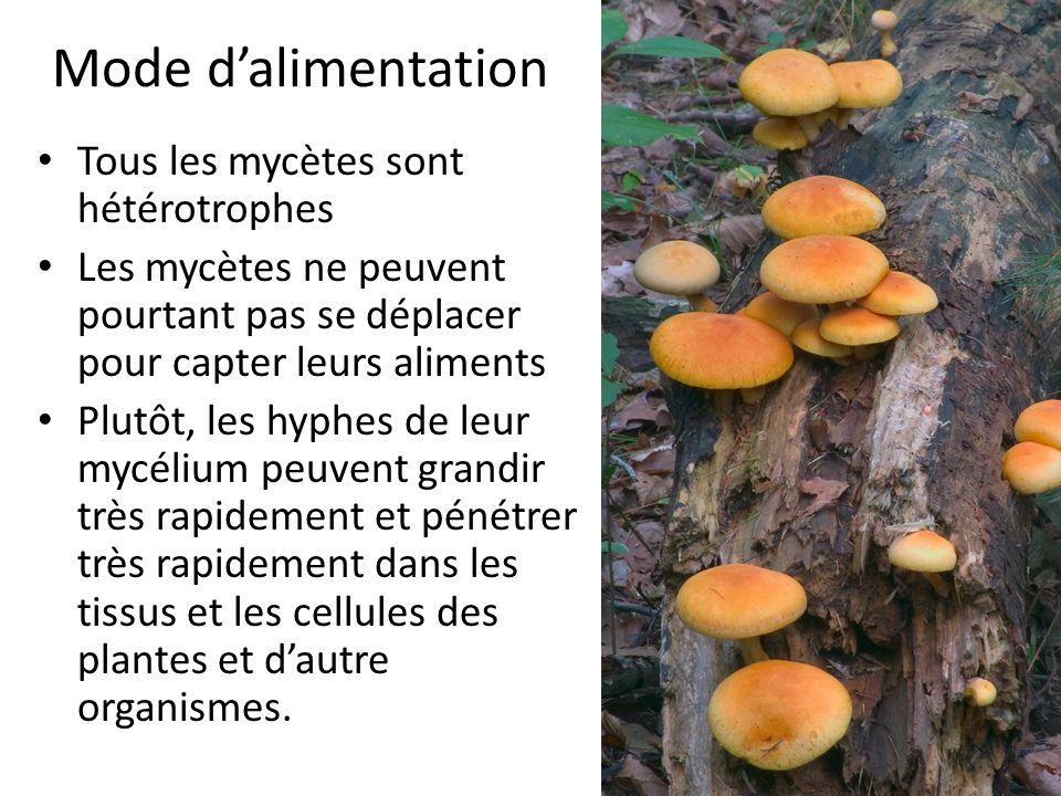 Mode d'alimentation Tous les mycètes sont hétérotrophes