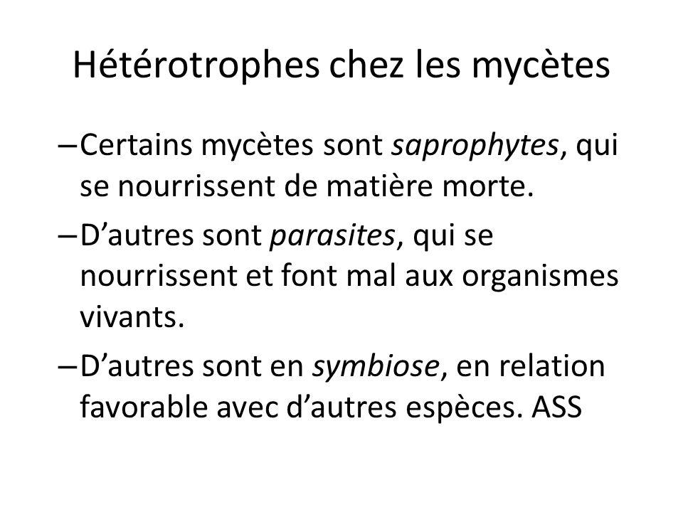 Hétérotrophes chez les mycètes