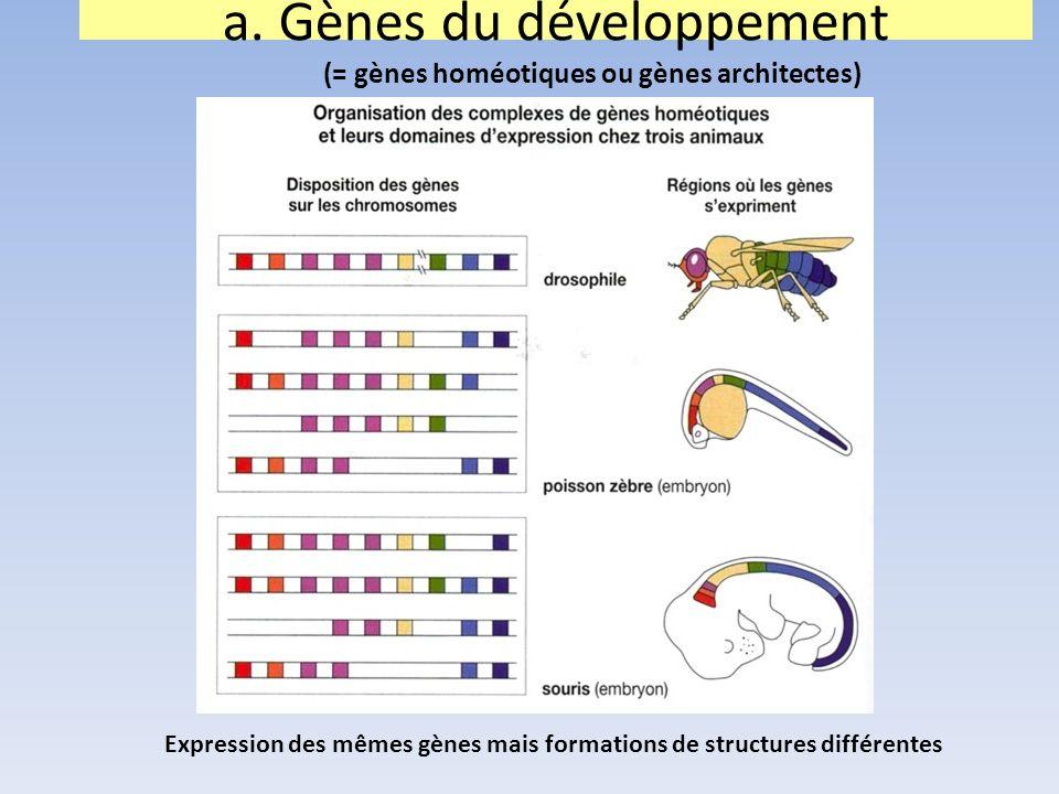 a. Gènes du développement