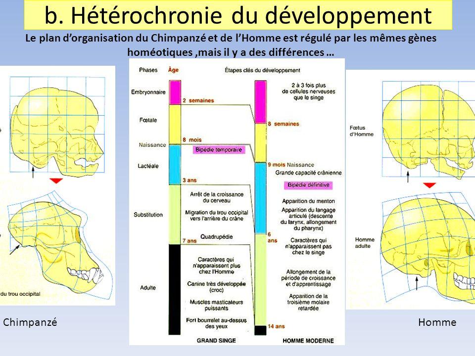 b. Hétérochronie du développement