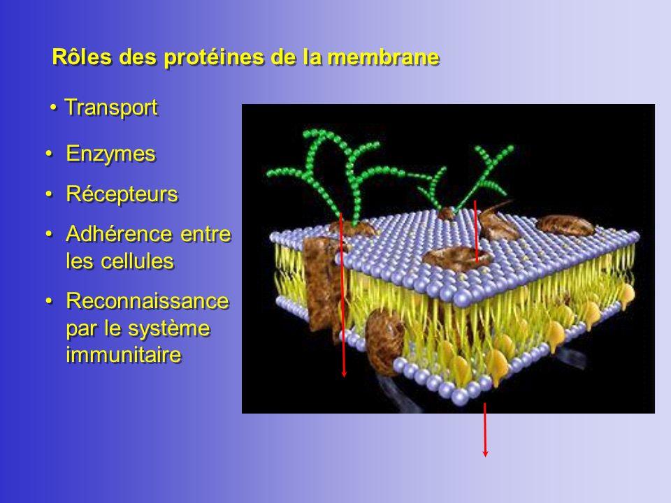Rôles des protéines de la membrane