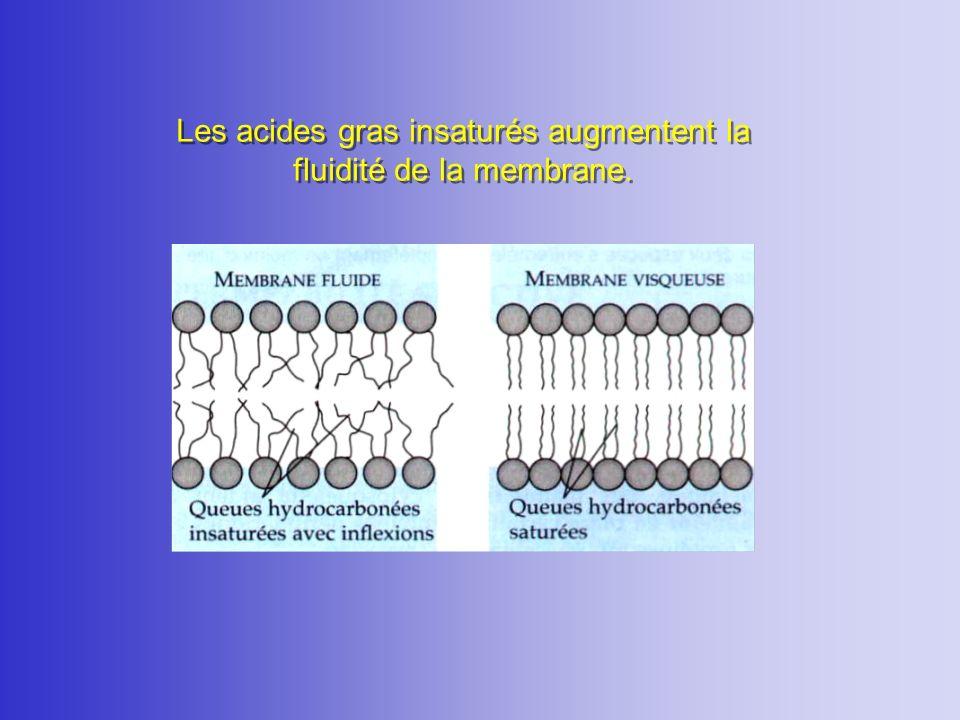 Les acides gras insaturés augmentent la fluidité de la membrane.