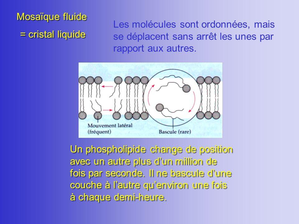 Mosaïque fluide Les molécules sont ordonnées, mais se déplacent sans arrêt les unes par rapport aux autres.