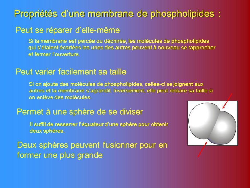 Propriétés d'une membrane de phospholipides :