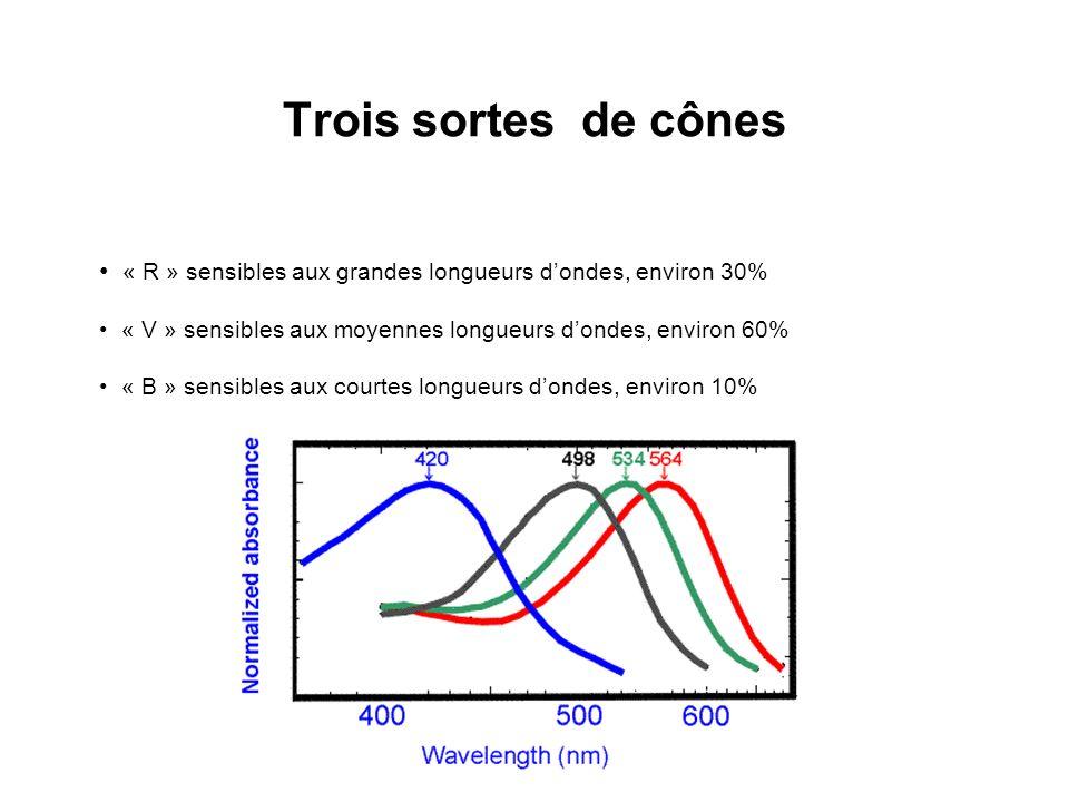 Trois sortes de cônes « R » sensibles aux grandes longueurs d'ondes, environ 30% « V » sensibles aux moyennes longueurs d'ondes, environ 60%