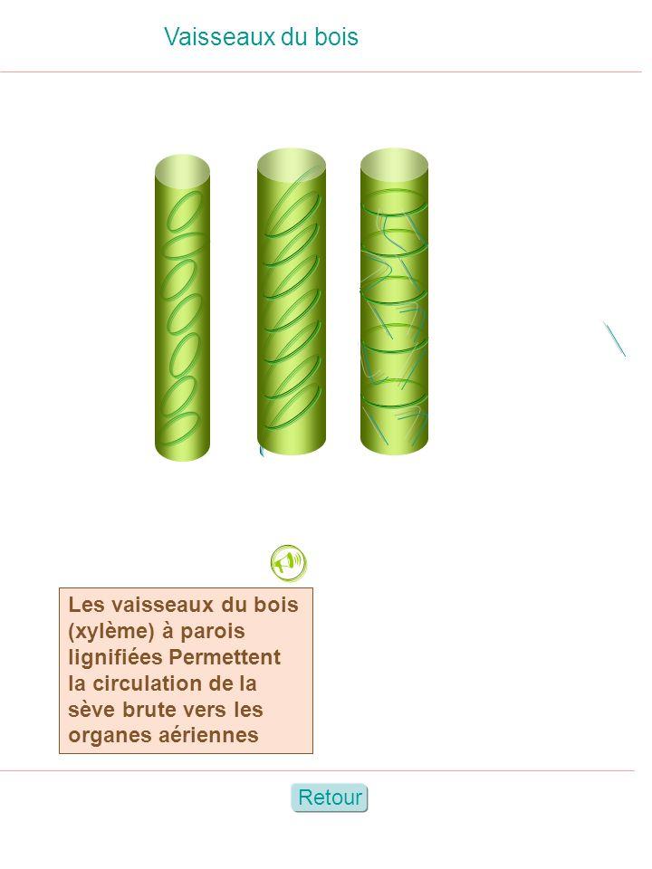 Vaisseaux du bois  Les vaisseaux du bois (xylème) à parois lignifiées Permettent la circulation de la sève brute vers les organes aériennes.