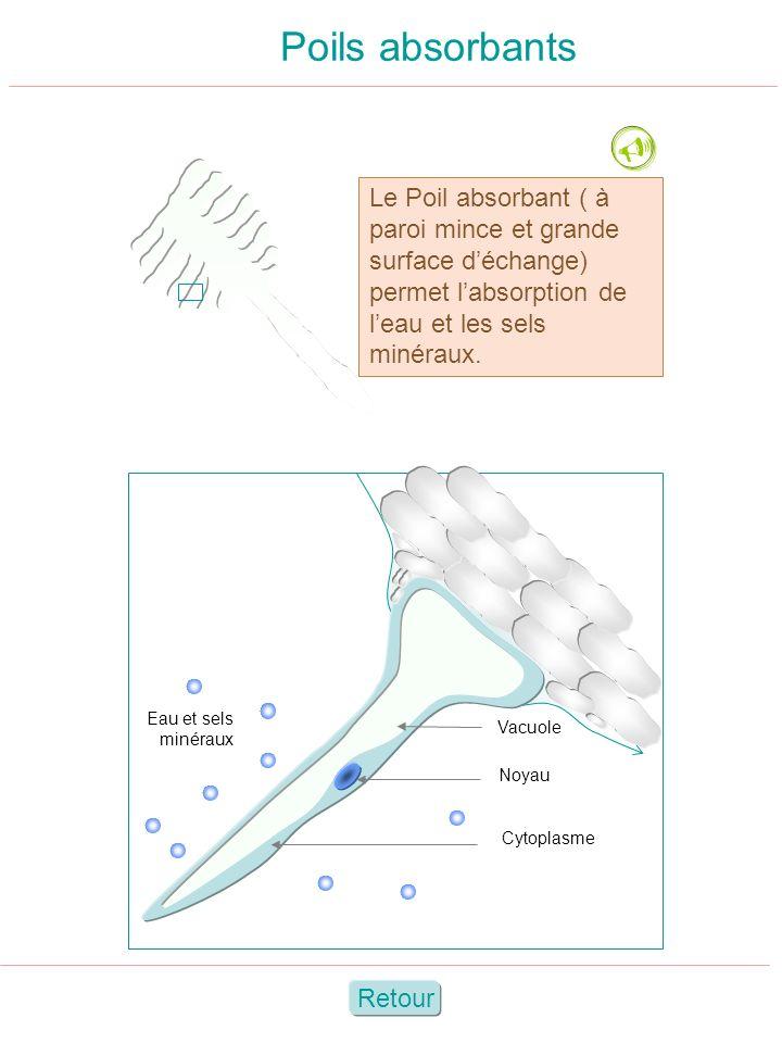 Poils absorbants  Le Poil absorbant ( à paroi mince et grande surface d'échange) permet l'absorption de l'eau et les sels minéraux.