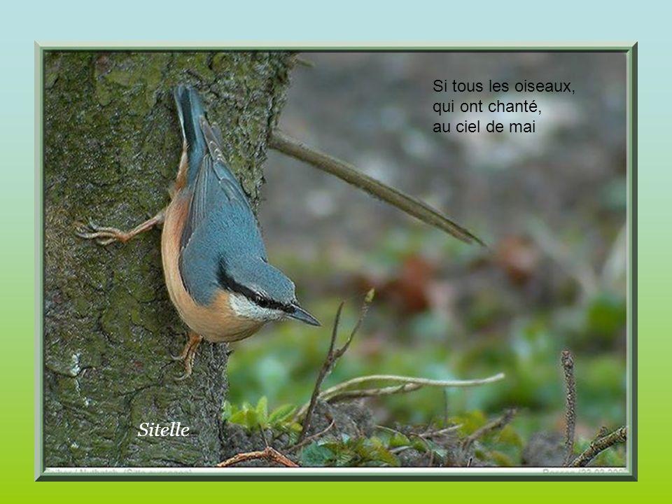 Si tous les oiseaux, qui ont chanté, au ciel de mai Sitelle