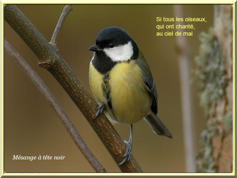 Si tous les oiseaux, qui ont chanté, au ciel de mai Mésange à tête noir