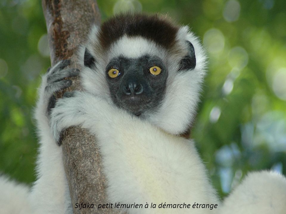 Sifaka petit lémurien à la démarche étrange