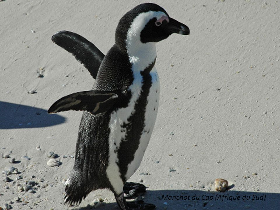 Manchot du Cap (Afrique du Sud)
